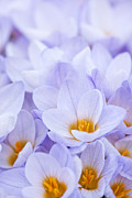 Flower Blooming Photos - Crocus flowers by Elena Elisseeva