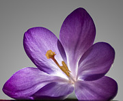 Flower Photographs Photo Prints - Crocus Print by Jim Wright