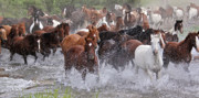 Horse Herd Photo Prints - Crossing The Creek Print by MH Ramona Swift