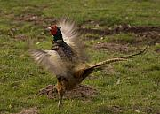 Pheasant Photos - Crowing Pheasant by Angel  Tarantella