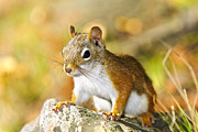 Sitting Photos - Cute red squirrel closeup by Elena Elisseeva
