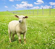Livestock Photo Metal Prints - Cute young sheep Metal Print by Elena Elisseeva