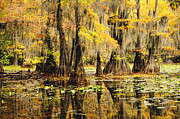 Caddo Framed Prints - Cypress Splendor Framed Print by Iris Greenwell