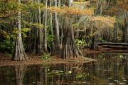 Mossy Trees Prints - Cypress Trees in Caddo Lake Print by Iris Greenwell