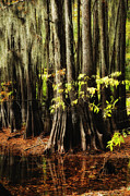 Caddo Framed Prints - Cypress Trunks Framed Print by Iris Greenwell