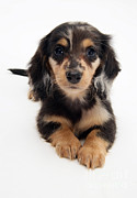 Animal Portraits Art - Dachshund Pup by Jane Burton