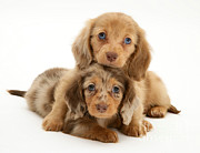 Animal Portraits Prints - Dachshund Pups Print by Jane Burton