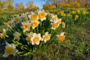 Field Of Flowers Prints - Daffodil Print by Bill  Wakeley