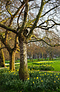 Trees Photos - Daffodils in St. Jamess Park by Elena Elisseeva
