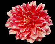 Large Flowers Prints - Dahlia Print by Cheryl Young