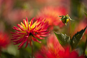 Red Leaf Prints - Dahlia Firestorm Print by Mike Reid