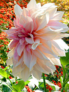 Flower Gardens In Nebraska City Posters - Dahlia in Autumn Poster by Christine Belt