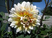 Dahlia Named Peaches-n-cream Print by J McCombie