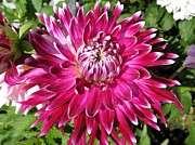Red Wine Prints Prints - Dahlia named Vancouver Print by J McCombie