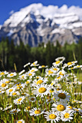 Peaks Photo Posters - Daisies at Mount Robson provincial park Poster by Elena Elisseeva