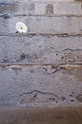 Out Of Context Prints - Daisy flower on concrete steps Print by Sami Sarkis
