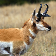 Custer State Park Prints - Dakota Pronghorn Print by Jeffrey Campbell