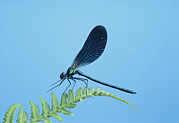 Damselfly Prints - Damselfly Print by David Aubrey
