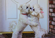 Maltese Dogs Photos - Dance With Me by Lynn Bauer