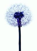 Dandelion Seed Head Print by Victor De Schwanberg