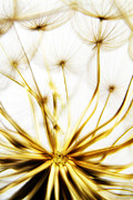 Blurred Framed Prints - Dandelion Framed Print by Stylianos Kleanthous
