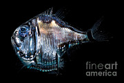 Mesopelagic Art - Deep-sea Hatchetfish by Danté Fenolio