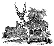Bewick Metal Prints - Deer Metal Print by Granger