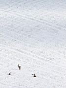 Snowy Field Posters - Deer In A Distant Snow Covered Field Poster by Adrian Bicker