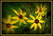 Black-eyed Susan Framed Prints - Delight Framed Print by Priscilla Richardson