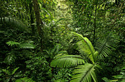 Forest Floor Photo Posters - Dense Tropical Rain Forest Poster by Matt Tilghman