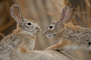 Desert Dome Framed Prints - Desert Cottontail Rabbits Framed Print by Joel Sartore