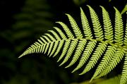 Closeups Prints - Detail Of Asian Rain Forest Ferns Print by Tim Laman