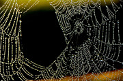 Dewdrops Posters - Dew on Spiderweb  Poster by Thomas R Fletcher