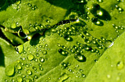 Dew Prints - Dewdrops on Leaf Print by Thomas R Fletcher