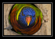 Lorikeet Photos - Did You Knock by Carolyn Marshall