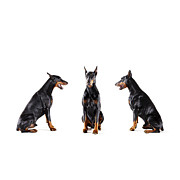 Doberman Pinscher Framed Prints - Dobermans Barking At Each Other Framed Print by Thomas Northcut