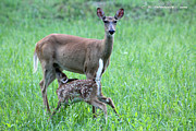 Nursing Deer Framed Prints - Doe and Fawn Framed Print by Carolyn Postelwait
