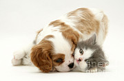 Spaniels Prints - Dog And Cat Print by Jane Burton