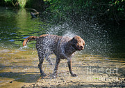 Animal Companion Prints - Dog Shaking Off Print by Mark Taylor