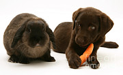 Chocolate Lab Framed Prints - Dog Steals Rabbits Carrot Framed Print by Jane Burton