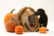 Labrador Retrievers Framed Prints - Dogs In Basket With Pumpkins Framed Print by Jane Burton
