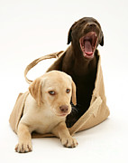 Labrador Retrievers Posters - Dogs In Cloth Bag Poster by Jane Burton