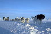 Dogsledge, Northern Greenland Print by Louise Murray
