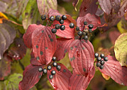 Cornus Prints - Dogwood (cornus Sanguinea) Print by Bob Gibbons