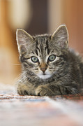 Felis Domesticus Prints - Domestic Cat Felis Catus Kitten Print by Konrad Wothe