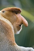 Dominant Posters - Dominant Male Proboscis Monkey Poster by Chris Hellier