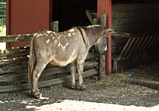 Barnyard Posters - Donkey in barn Poster by Blink Images