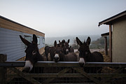 Donkey Photo Framed Prints - Donkeys Framed Print by Dawn OConnor