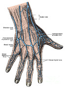 Labeled Posters - Dorsum Of The Hand And Fingers Poster by Science Source