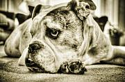 Bulldog Framed Prints - Dozer Framed Print by Andrew Kubica